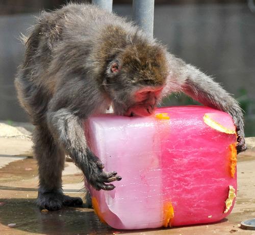 暑いので大きな氷や好物を凍らせて色々な動物たちにあげている画像の数々!!の画像(8枚目)