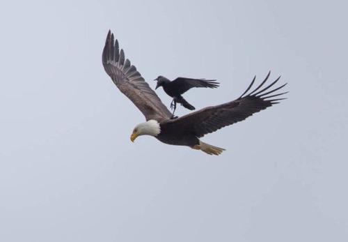 【画像】飛んでいる鷲(イーグル)の背中で休むカラス・・・の画像(3枚目)