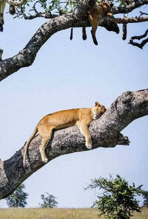 ライオンがたくさん集まる1本の不思議な木の画像を癒されるwwの画像(12枚目)