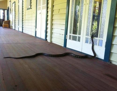 オーストラリアのヘビ事情の画像(14枚目)