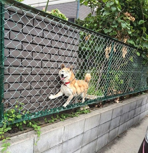 犬はバカ可愛い!!バカだけど憎めない可愛い犬の画像の数々!!の画像(2枚目)