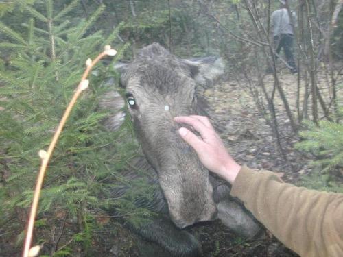 【画像】森の中で保護された巨大な鹿ムースの子供が可愛い!!の画像(2枚目)