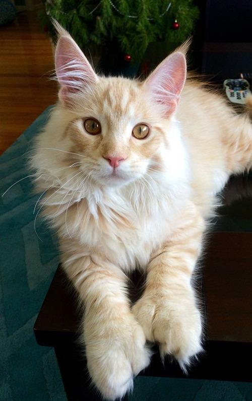 クソデカイ猫「メインクーン」の大きさがよく分る画像の数々!!の画像(25枚目)