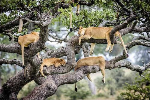 ライオンがたくさん集まる1本の不思議な木の画像を癒されるwwの画像(8枚目)