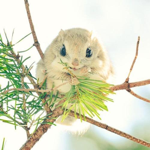 【画像】北海道に住むエゾモモンガがかわい過ぎる!!の画像(8枚目)