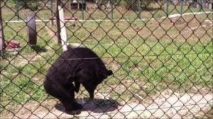 人間のように歩くクマの画像_000017581
