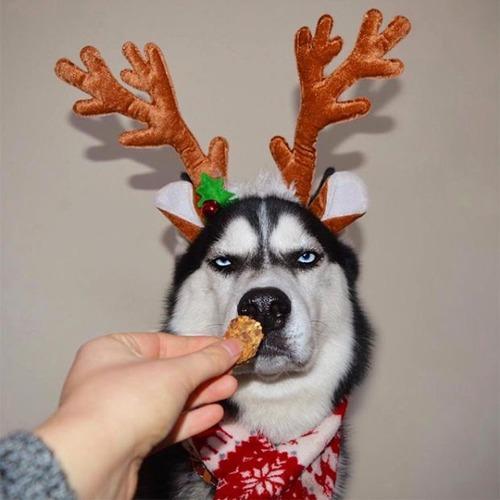 ハスキー犬のクリスマスのコスプレの画像(2枚目)