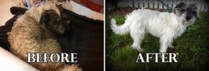 捨て犬の毛をキレイにカットしてるビフォーアフターの画像の数々!!の画像(19枚目)