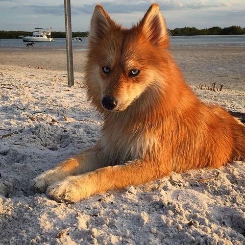 【画像】キツネなのか犬なのか分らないくらいキツネな犬がかっこ良くて可愛い!!の画像(6枚目)