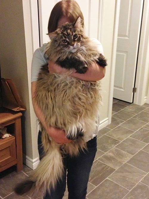 クソデカイ猫「メインクーン」の大きさがよく分る画像の数々!!の画像(4枚目)