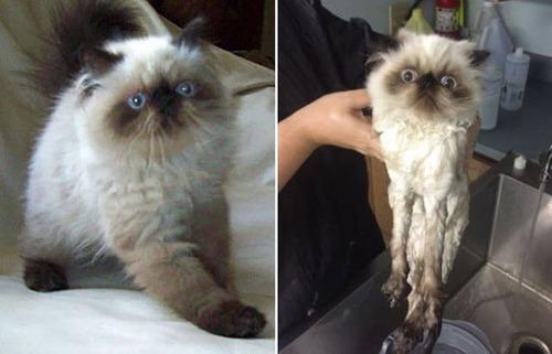 猫ちゃんの濡れる前後の比較の画像(7枚目)