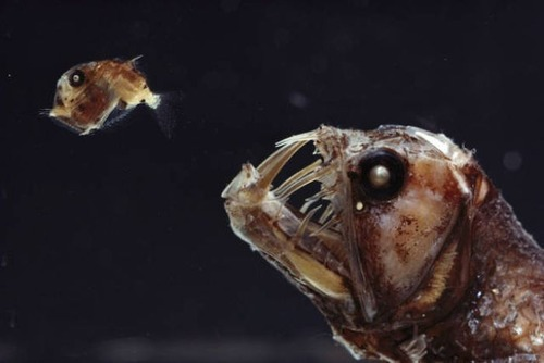 深海の生物の画像(4枚目)