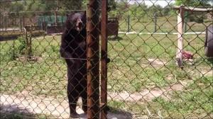 人間のように歩くクマの画像_000010686