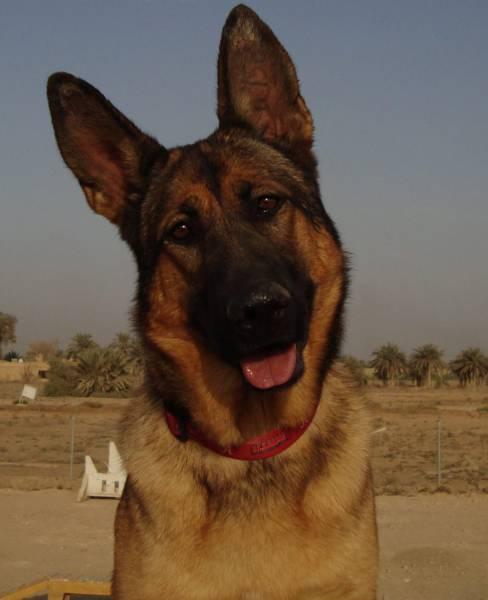 戦地での軍用犬の日常がわかるちょっと癒される画像の数々!!の画像(22枚目)