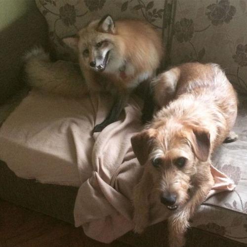 犬と猫と仲良しのキツネの画像(15枚目)