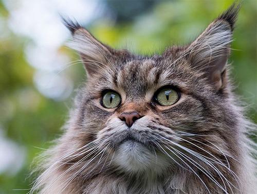 クソデカイ猫「メインクーン」の大きさがよく分る画像の数々!!の画像(22枚目)