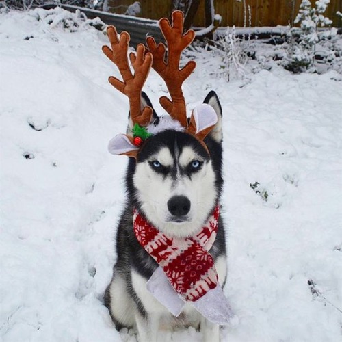 ハスキー犬のクリスマスのコスプレの画像(3枚目)