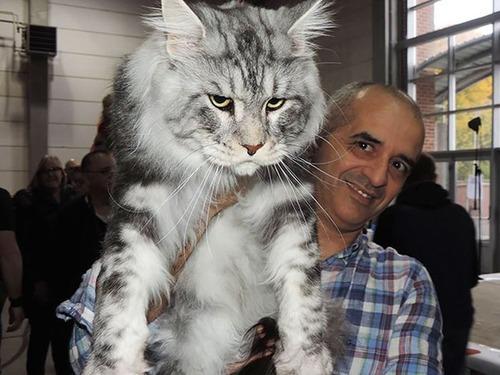 クソデカイ猫「メインクーン」の大きさがよく分る画像の数々!!の画像(6枚目)