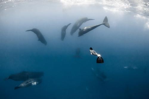 【画像】マッコウクジラといっしょに泳ぐダイバーの写真の画像(8枚目)