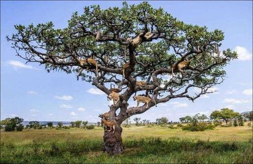 ライオンがたくさん集まる1本の不思議な木の画像を癒されるwwの画像(7枚目)