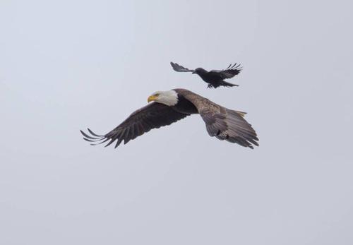 【画像】飛んでいる鷲(イーグル)の背中で休むカラス・・・の画像(1枚目)