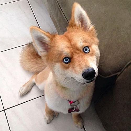 【画像】キツネなのか犬なのか分らないくらいキツネな犬がかっこ良くて可愛い!!の画像(11枚目)
