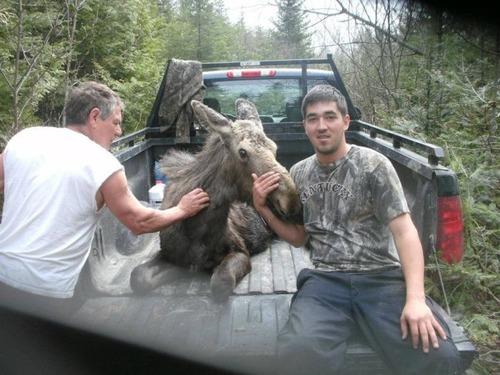【画像】森の中で保護された巨大な鹿ムースの子供が可愛い!!の画像(4枚目)
