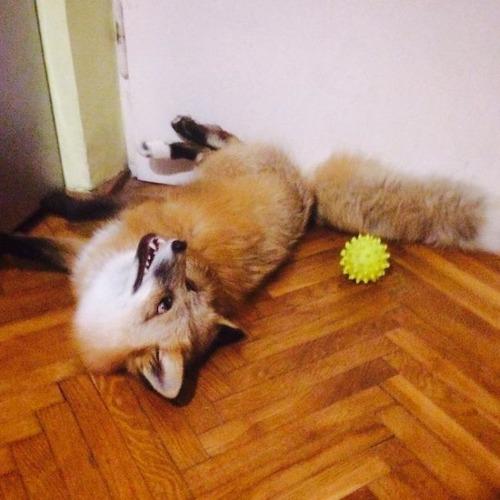 犬と猫と仲良しのキツネの画像(9枚目)