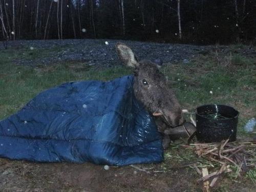 【画像】森の中で保護された巨大な鹿ムースの子供が可愛い!!の画像(7枚目)