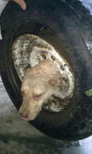 【画像】タイヤのホイールに頭がはまった犬の救助方法がなかなか凄い!!の画像(4枚目)