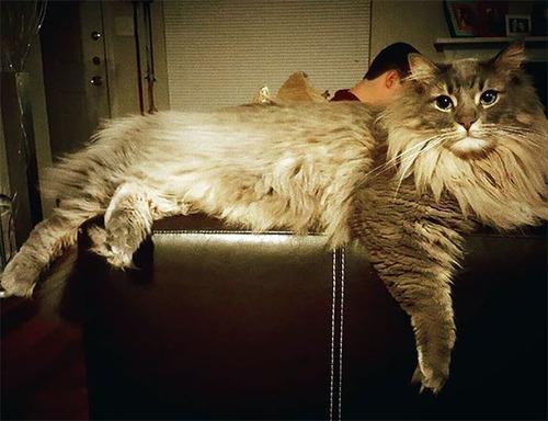 クソデカイ猫「メインクーン」の大きさがよく分る画像の数々!!の画像(26枚目)