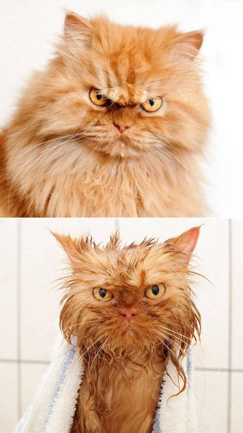 猫ちゃんの濡れる前後の比較の画像(8枚目)