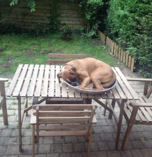 どこでも寝れる!?どこでも寝てる可愛い犬の画像の数々!!の画像(34枚目)