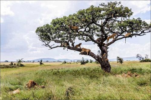 ライオンがたくさん集まる1本の不思議な木の画像を癒されるwwの画像(4枚目)