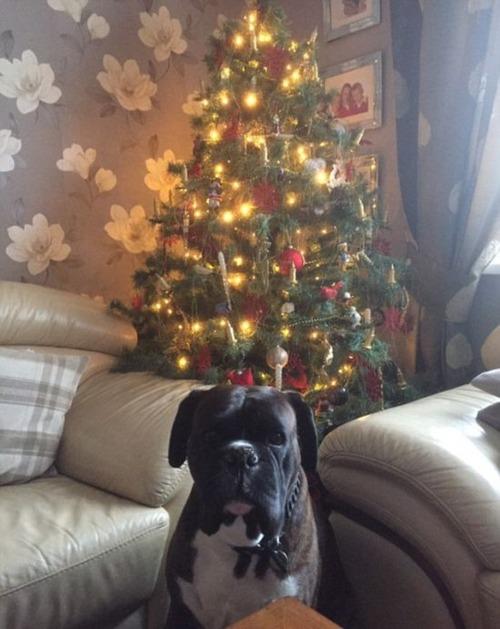 犬とクリスマスの画像(14枚目)