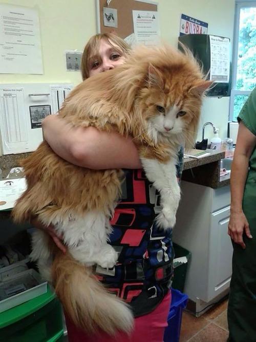クソデカイ猫「メインクーン」の大きさがよく分る画像の数々!!の画像(3枚目)