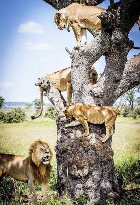 ライオンがたくさん集まる1本の不思議な木の画像を癒されるwwの画像(13枚目)