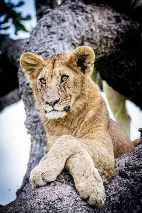 ライオンがたくさん集まる1本の不思議な木の画像を癒されるwwの画像(1枚目)