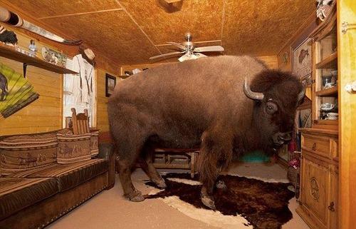 家の中でバイソンを飼っているの画像(11枚目)