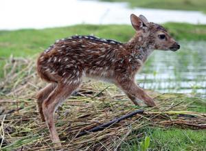濁流に捲込まれた子鹿の助け方がワイルドすぎる少年!の画像(8枚目)