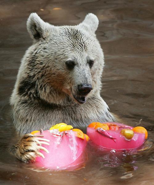 暑いので大きな氷や好物を凍らせて色々な動物たちにあげている画像の数々!!の画像(13枚目)