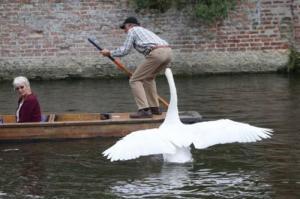 【画像】人に迷惑をかけまくる白鳥がなんとなく可愛いwwwの画像(3枚目)