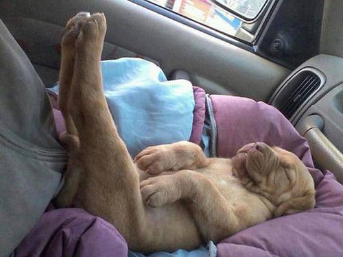 どこでも寝れる!?どこでも寝てる可愛い犬の画像の数々!!の画像(24枚目)