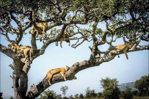 ライオンがたくさん集まる1本の不思議な木の画像を癒されるwwの画像(14枚目)