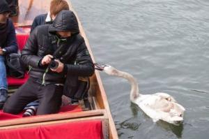 【画像】人に迷惑をかけまくる白鳥がなんとなく可愛いwwwの画像(22枚目)