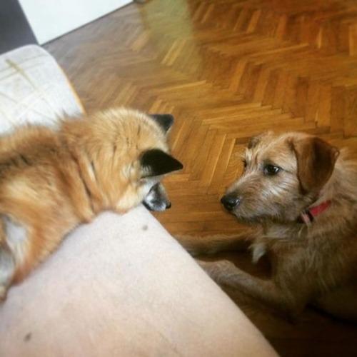 犬と猫と仲良しのキツネの画像(16枚目)