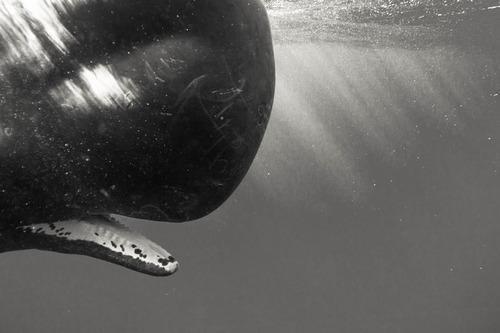 【画像】マッコウクジラといっしょに泳ぐダイバーの写真の画像(5枚目)