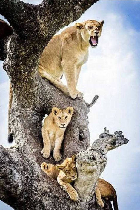 ライオンがたくさん集まる1本の不思議な木の画像を癒されるwwの画像(10枚目)