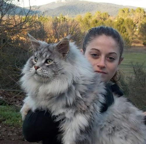 クソデカイ猫「メインクーン」の大きさがよく分る画像の数々!!の画像(27枚目)