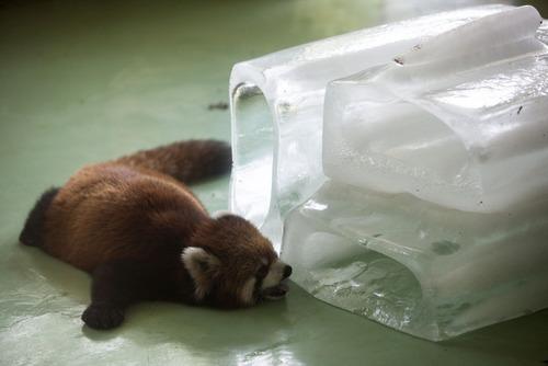 暑いので大きな氷や好物を凍らせて色々な動物たちにあげている画像の数々!!の画像(6枚目)